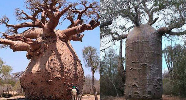 বাওব্যাব, আফ্রিকা