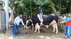 কোরবানির গরু 'রাজাবাবু - ২০১৯'(ভিডিও)