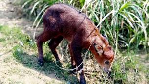 বিরল প্রজাতির বনছাগল উদ্ধার