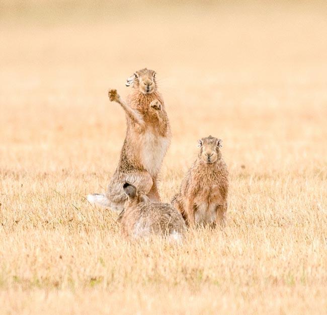 hare-4